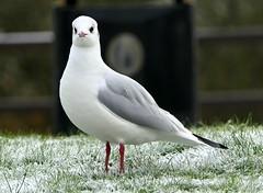 Black Faced Gull (eric robb niven) Tags: ericrobbniven scotland dundee gulls black faced winter autumn springwatch