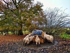 Food (tubblesnap) Tags: sheep feeding farm animals yorkshire motorola snapseed