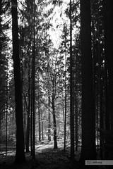 (der-kruemel) Tags: 1835 1835mm 70d canon canoneos70d deutschland eos flora germany groserfeldberg herbst hessen jahreszeiten laub seasons sigma sigma1835mm sigma1835mmf18 sigma1835mmf18dchsm taunus wald forest wood königsteinimtaunus bäume tree blackandwhite bw schwarzundweiss schwarzweiss sw