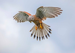 Male kestrel hovering in hunting mode. (Iand49) Tags: kestrel male bird feather falcon birdofprey predator raptor carnivore hunter hunting falcotinnunculus england europe flying inflight airborne hovering tasilfanned hookedbeak talons brownbody greyhead greytail sky nature wildlife beautifulbird lovelyfalcon action fauna naturalhistory avian falconry outdoors ornithology sleek streamlined