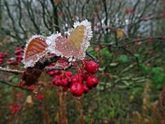 Berry Cold (Bricheno) Tags: johnstone macro berries frost ice bricheno scotland escocia schottland écosse scozia escòcia szkocja scoția 蘇格蘭 स्कॉटलैंड σκωτία
