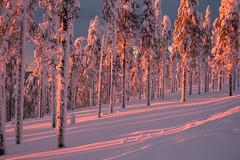 Lovely Lapland (ikkasj) Tags: doubleexposure sunset forest levi lapland finland winter snow