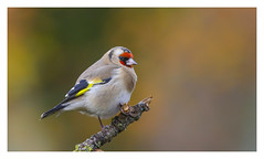 Goldfinch - (Carduelis carduelis)  'L' for large (hunt.keith27) Tags: cardueliscarduelis goldfinch woodland bird wing feather beak devon canon colourful highly coloured finch with bright red face yellow patch sociable animal lichen beech 300mm