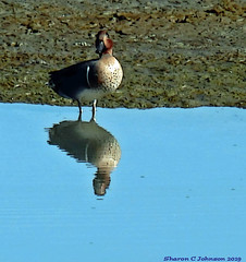 Green Winged Teal (Sharon C Johnson) Tags: greenwingedteal reflection marsh sanmateococa