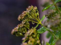 Gotas de lluvia (tonygimenez) Tags: lluvia otoño gotas macro sony plantas flores naturaleza a7marii cascante