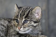 Fishing cat, kitten 8 weeks. (K.Verhulst) Tags: cat kat vissendekat fishingcat blijdorp diergaardeblijdorp rotterdam