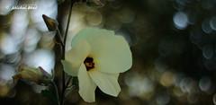 maillot jaune (studio gimi) Tags: fleur flower flou bokeh beyondbokeh deprès proxy artistique ambiance jardin garden grosplan