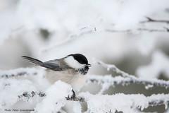 Willow tit! (petergranström) Tags: approved willow tit talltita bird fågel wings vingar snow snö crotch gren kvist