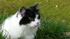 Wide open eyes (PennaPrizma) Tags: animals cat black mate eyes autumn colors white lovely cut nose