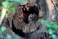 Tawny Owl (KJB Photography.) Tags: tawny owl oak tree perched bird prey