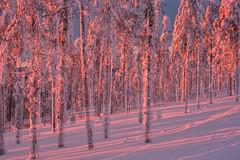 Lovely Lapland (ikkasj) Tags: sunset forest levi lapland finland winter snow