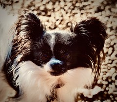 damn your eyes (delnaet) Tags: bonnie dog chien hond ogen eyes reflectie vlinderhond papillon perro reflection