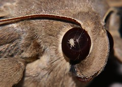 ACARINA Arachnid mite BUG IN THE EYE, GOTTA PROTECT YOUR EYES AT THE NIGHT LIGHTS P1088563 (Steve & Alison1) Tags: eye night bug lights eyes arachnid your gotta protect mite the in at acarina beach smiling big rainforest moth sp aff mandalay airlie erebidae erebinae noctuoidea hulodes hulodini caranea