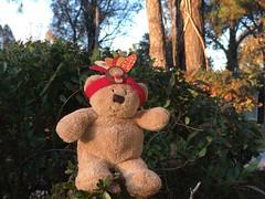 Little Turkey Bear 🐻 HTBT (Jeanne1931) Tags: thanksgiving teddybeartuesdays teddybear