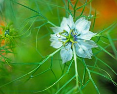 All roads (L@nce (ランス)) Tags: flower white translucent macro micro nikkor nikon bokeh menziesstreet jamesbay victoria britishcolumbia canada