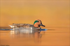Green-winged Teal In Sweet Colours (Daniel Cadieux) Tags: duck teal greenwingedteal drake male breedingplumage swim swimming orange colours colors colorful ottawa ottawariver waterfowl autumn fall