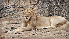 lioness (MiChaH) Tags: sa southafrica zuidafrika wildlife kruger krugernationalpark wildpark animals dieren leeuwen lions holidayinsouthafrica 2019 lioness leeuwin