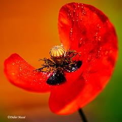 Coquelicot en fin de vie après une averse (didier95) Tags: coquelicot fleur fleurrouge pluie goutte gouttesdeau macro rouge