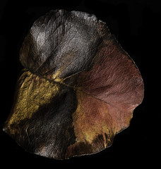 Colors Textures And Patterns In An Old Leaf (Bill Gracey 25 Million Views) Tags: leaf colorful colors textures patterns offcameraflash blackbackground homestudio yongnuo yongnuorf603n lastoliteezbox softbox sidelighting