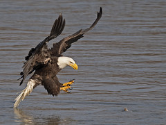 Bald Eagle (Brian E Kushner) Tags: american baldeagle bald eagle fish fishing raptor wings talon beak king flying flight inflight haliaeetusleucocephalus conowingo dam conowingodam darlington md maryland d5 nikond5 bird birds bkushner wildlife animals birdwatcher ©brianekushner nikonafsnikkor800mmf56efledvrlens nikon afs nikkor 800mm f56e fl ed vr lens tc800125e tc800125eed grab pick up