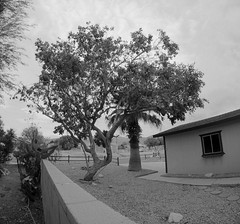 Tree in Desert Hot Springs (33) (Ron of the Desert) Tags: deserthotsprings coachellavalley california goprohero5black gopro hero5 hero5black blackwhite