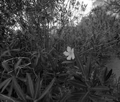 Oleander (28) (Ron of the Desert) Tags: deserthotsprings coachellavalley california goprohero5black gopro hero5 hero5black oleander blackwhite