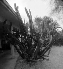 Cereus Peruvianus (27) (Ron of the Desert) Tags: cactus deserthotsprings coachellavalley california goprohero5black gopro hero5 hero5black cereusperuvianus blackwhite