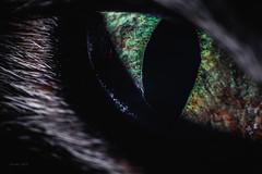 Hunter's eye (Soren Wolf) Tags: animal animals closeup cat cats beautiful close eye macro nopeople nikon d750 reverse reversed vivitar 28mm