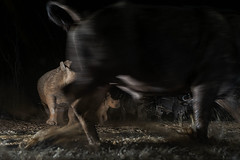 Excitement at the buffaloes when the rhinos are coming - Zimanga - South-Africa (wietsej) Tags: excitement buffaloes when rhinos coming zimanga southafrica sony a7rii a7rm2 night animal zeiss sal1635z 1635