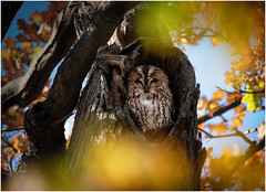 Tawny autumn (dickiebirdie68) Tags: owl tawny nature wildlife bird feathers tree fall autumn golden animal nikon d850