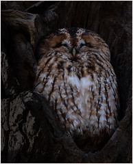 Sleepy head (dickiebirdie68) Tags: owl tawny wildlife nature bird feathers sleepy tree natural nikon d850