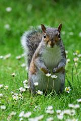 Smell the daisies (5ERG10) Tags: cute animal squirrel facetoface greysquirrel facingthecamera portrait closeup kensingtongardens flower daisy hydepark
