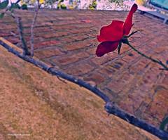 EN ALGÚN LUGAR QUE NUNCA RECORRÍ: (-Ana Lía-) Tags: flickr nikon rosa lluvia fragilidad frágil una color roja texturas cielo jardín city ciudad flor argentina buenosaires mdq sky muro ladrillos pared musgo luz ramas renacer renacimiento primavera analialarroude naturaleza nature imagen exterior pétalos hojas minimalista