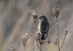 Photo of A female Stonechat at Oare Marshes Reserve