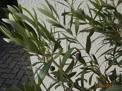 Oliven (naturgucker.de) Tags: ngidn861624317 oleaeuropaea olive