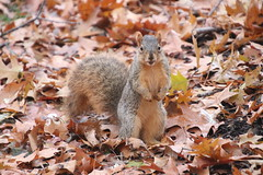 161/366/4178 (November 19, 2019) - Juvenile and Adult Fox Squirrels on a Late Autumn Day in Ann Arbor at the University of Michigan - November 19th, 2019 (cseeman) Tags: gobluesquirrels squirrels foxsquirrels easternfoxsquirrels michiganfoxsquirrels universityofmichiganfoxsquirrels annarbor michigan animal campus universityofmichigan umsquirrels11192019 autumn fall eating peanuts novemberumsquirrel juvenilesquirrels juvenilefoxsquirrels juveniles snowing snow snowysquirrels 2019project365coreys yeartwelveproject365coreys project365 p365cs112019 356project2019