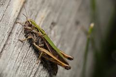 Striped for Speed - _TNY_0273 (Calle Söderberg) Tags: macro canon canon5dmkii canoneos5dmarkii canon5dmarkii 5d2 canonef100mmf28lmacroisusm raynox dcr250 flash godox thinklite tt685c plåtdiffusorv3 insect gräshoppa slåttergräshoppa bowwingedgrasshopper chorthippus biguttulus grasshopper orthoptera caelifera rätvinge markgräshoppa acrididae nachtigallgrashüpfer grashüpfer brown green viperstripe f22