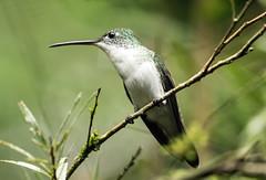 015A4583 Andean Emerald (suebmtl) Tags: bird hummingbird andeanemerald amaziliafranciae mindo pichinchaprovince ecuador