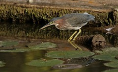 The Sniper (Slow Turning) Tags: butoridesvirescens greenheron juvenile immature young bird fishing hunting perched log water pond autumn fall southernontario canada