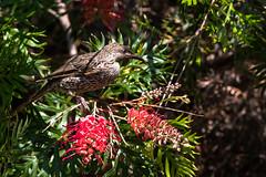 Little Wattlebird and Two Robyn Gordons (armct) Tags: grevillea robyngordon cultivar wattlebird little anthochaerachrysoptera australia native indigenous shrub tree bird honeyeater