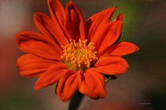 Pretty in Red (Anton Shomali - Thank you for over 3 million views) Tags: wet flickr photography nature mexican sunflower t tithonia rotundifolia warm flower flowers rain storm thunder summer season green red yellow central america drop drops monarchs seeds garden yard back sun clouds water sony slta77v mexico camera lens beautiful beauty nice art landscape sky photo picture frame reflections view nikon coolpix p900 morning hot backyard bright mexicansunflower redflower prettyinred backyardflower