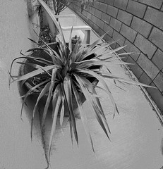 Yucca (31) (Ron of the Desert) Tags: deserthotsprings coachellavalley california goprohero5black gopro hero5 hero5black yucca blackwhite