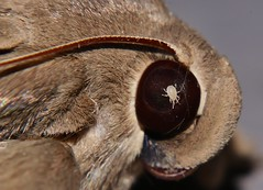 ACARINA Arachnid mite BUG IN THE EYE, GOTTA PROTECT YOUR EYES AT THE NIGHT LIGHTS P1088564 (Steve & Alison1) Tags: big smiling moth hulodes sp aff caranea hulodini erebinae erebidae noctuoidea mandalay rainforest airlie beach 72mm wing spread 40mm long