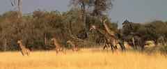 Family of Giraffes crossing open country   https://naturallysouthaustralia.com/ (Aussie Nature Pics) Tags: nature wildlife wildlifephotography naturephotography africa africananimals africannature creatures animalphotography southernafrica giraffe botswana safari