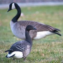 Brant (rileyron) Tags: brant goose branta bernicla birds idaho