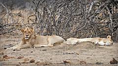 mother and son (MiChaH) Tags: sa southafrica zuidafrika wildlife kruger krugernationalpark wildpark animals dieren leeuwen lions holidayinsouthafrica 2019 lion lioness motherandson moederenzoon sleeping
