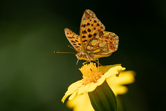 Issoria lathonia (Queen of Spain  Fritillary) - Nymphalidae - Shipka, Kazanlak, Bulgaria (Nature21290) Tags: bulgaria bulgaria2018 issoria issorialathonia kazanlakvalley lepidoptera nymphalidae queenofspainfritillary shipka insect