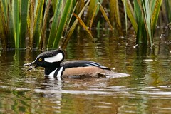 Hooded Merganser (richmondbrian) Tags: dncb 201948 stanley park hooded merganser