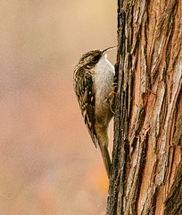 Brown Creeper (richmondbrian) Tags: dncb 201948 stanley park brown creeper