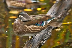 Wood Duck (richmondbrian) Tags: dncb 201948 stanley park wood duck